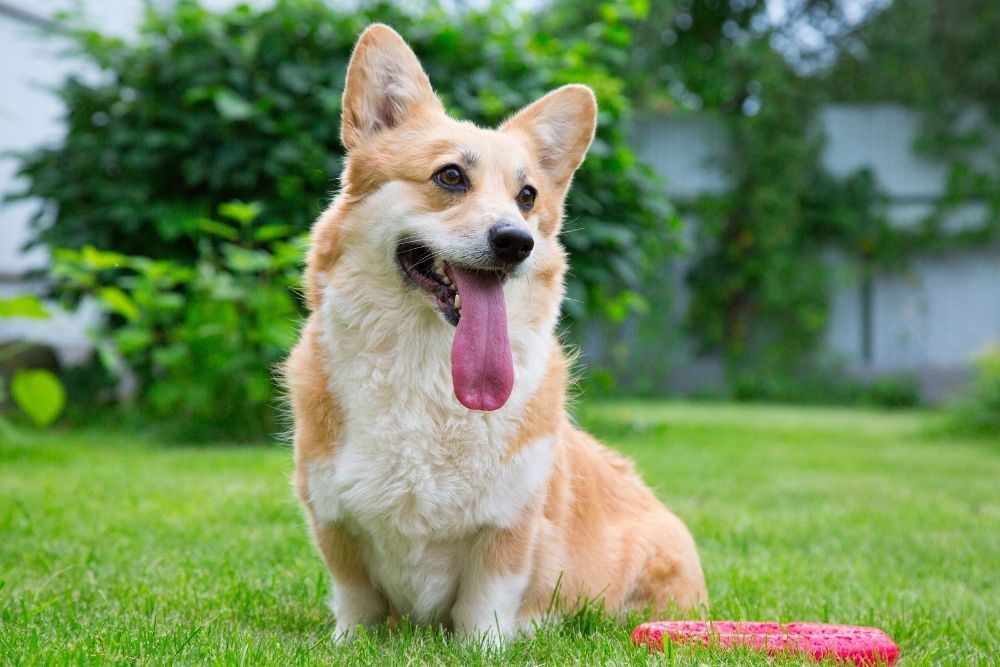 dog-playing-in-backyard