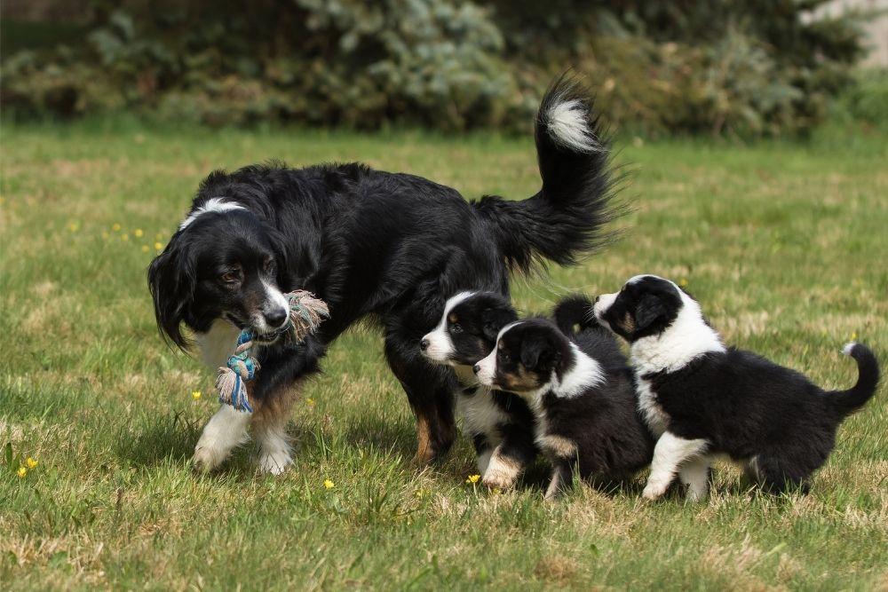 australian-shepherd-dog-mother-with-puppies