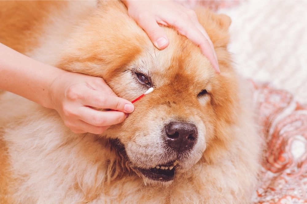 cleaning-dog-eyes-with-a-cotton-bud