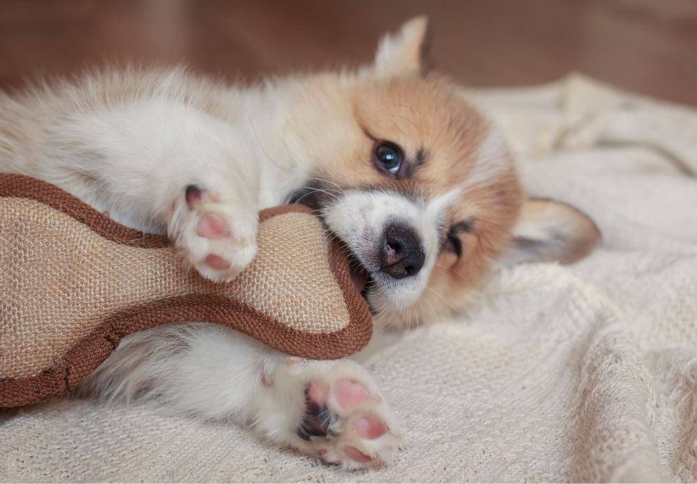 cute-little-puppy-nibbling-a-toy