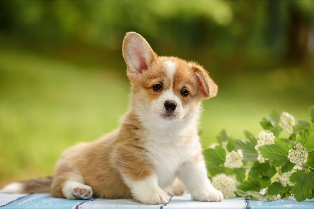 cute-puppy-with-one-ear-up