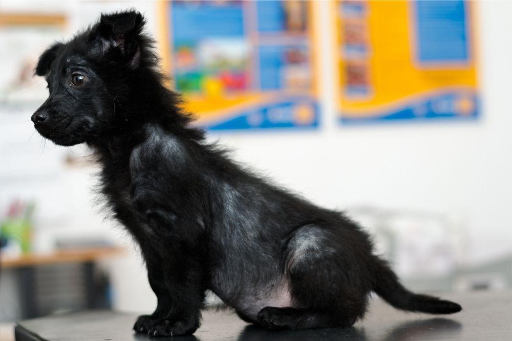 dog-alopecia
