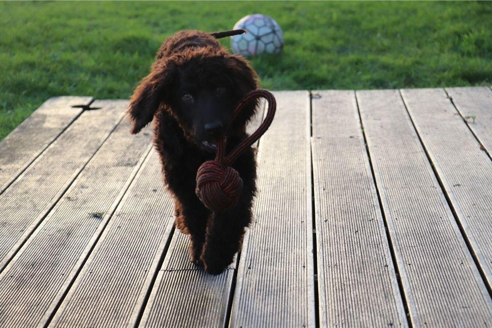 dog-bringing-toy-to-owner