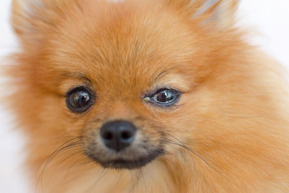 dog-conjunctivitis