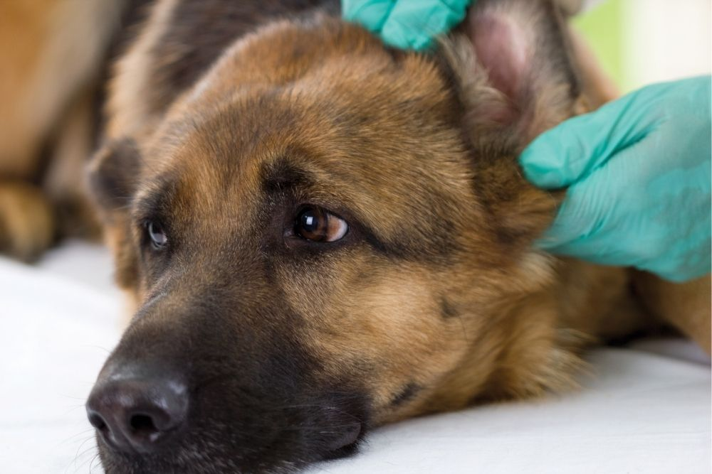 dog-ear-checked-by-vet