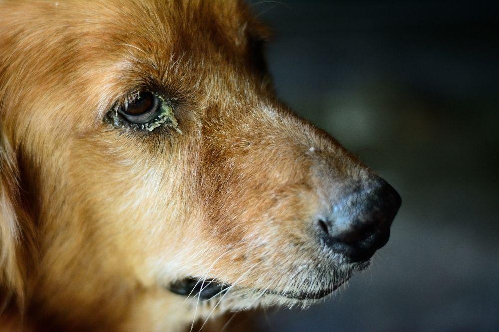 dog-eye-booger