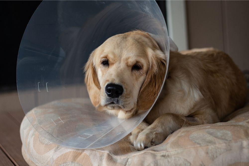 dog-spay-and-neuter-cone-collar
