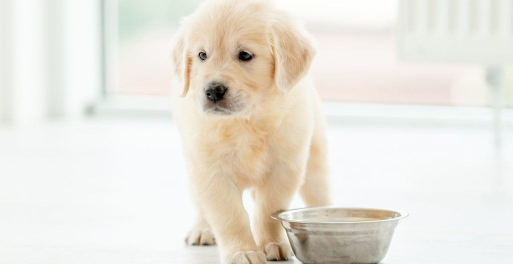 how-long-after-a-puppy-eats-do-they-poop