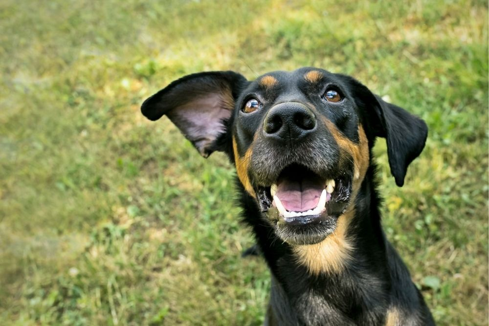 mixed-breed-dog-with-one-ear-down