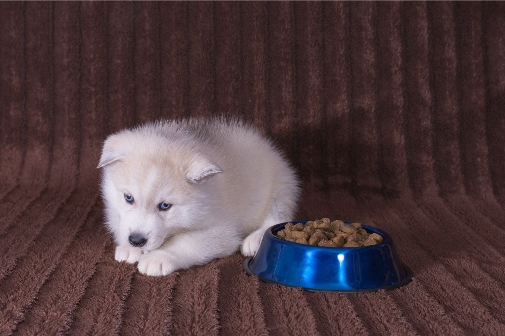 new-puppy-not-eating