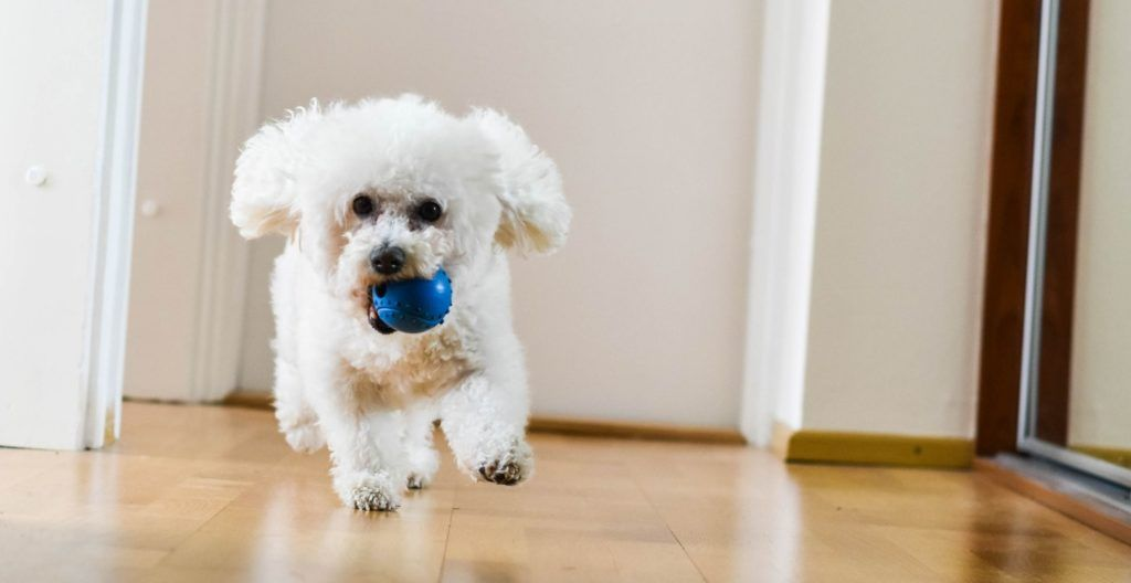 why-does-my-dog-bring-me-a-toy-when-i-get-home